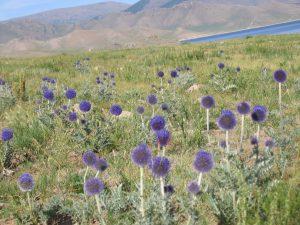 Disteln in der Mongolei